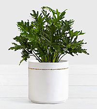 Lacy Leaf Philodendron–Floor Plant in Mid Century Planter