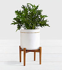 Lacy Leaf Philodendron–Floor Plant with Stand
