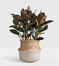 Rubber Tree - Floor Plant in White Dipped Belly Basket