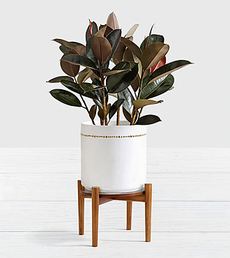 Rubber Tree Floor Plant with Stand