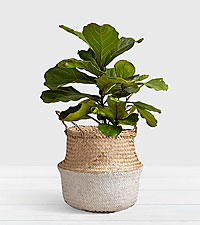 Fiddle Leaf Fig Tree - Floor Plant in White Dipped Belly Basket