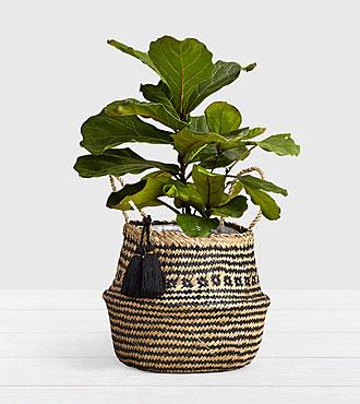 Fiddle Leaf Fig Tree in Diamond Print Belly Basket