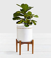 Fiddle Leaf Fig Tree Floor Plant with Stand