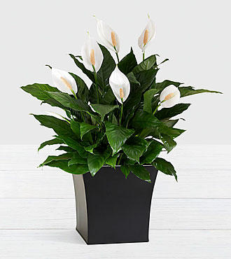 Deluxe Sympathy Peace Lily in Black Tin