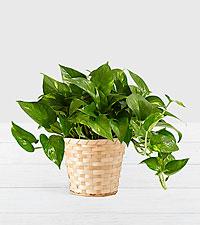 Golden Pothos–Tabletop Plant