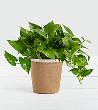 Golden Pothos– Tabletop Plant