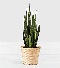 Snake Plant Tabletop Plant Woven Basket
