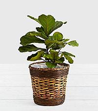 Fiddle Leaf Fig Tree - Floor Plant