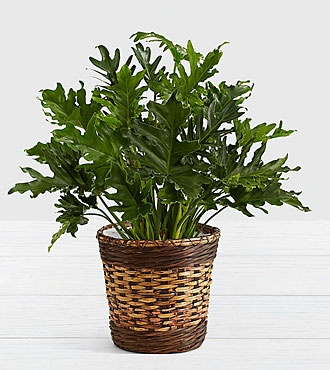 Lacy Leaf Philodendron – Floor Plant