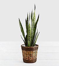 Snake Plant - Floor Plant