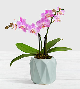 Pink Mini Orchid in Mint Planter