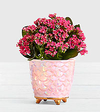 Mermaid Kalanchoe