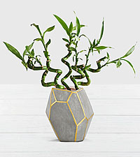 Modern Lucky Bamboo in Cement Geo Container