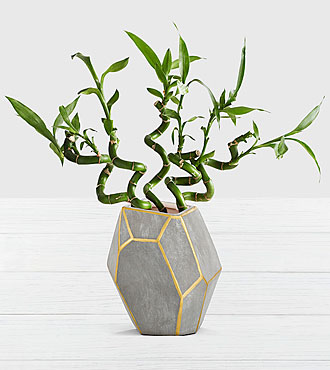 Modern Lucky Bamboo in in Cement Geo Container