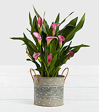Potted Pink Calla Lily in Farmhouse Tin