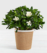 Potted Fragrant Gardenia