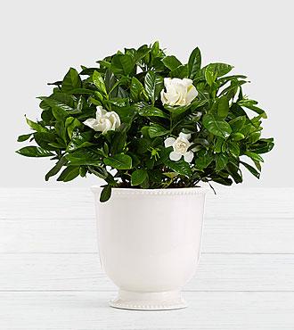 Potted Fragrant Gardenia in Ceramic Cream Urn