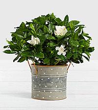 Potted Fragrant Gardenia in Farmhouse Tin
