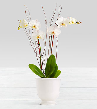 Potted Double Stem White Orchid in Ceramic Cream Urn