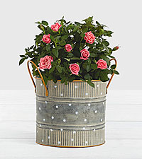 Potted Pink Roses in Farmhouse Tin