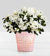 Potted White Azalea in Pink Mercury Glass Vase