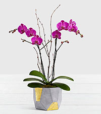 Potted Double Stem Purple Orchid in Geo Clay Pot