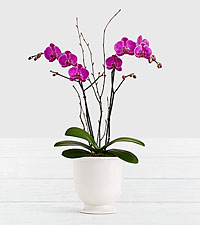 Potted Double Stem Purple Orchid in Ceramic Cream Urn