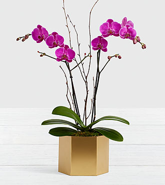 Potted Double Stem Purple Orchid