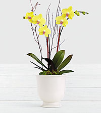 Spring Fever Orchid in Ceramic Cream Urn