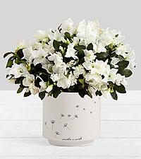 Potted White Azalea in Make a Wish Planter