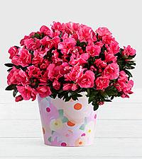 Hot Pink Azalea Plant in Watercolor Bucket