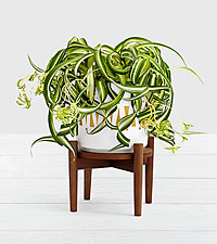 Spider Plant in Mid Century Plant Stand