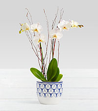 Potted Double Stem White Orchid in Delft Planter