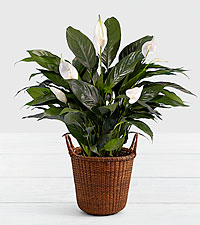 Lush Tropical Peace Lily in Premium Basket