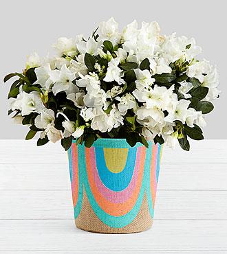 Potted White Azalea in Rainbow Basket