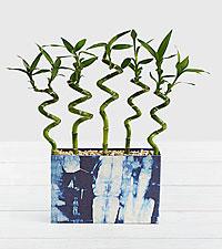 Modern Lucky Bamboo in Blue Shibori Box