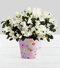 Potted White Azalea in Watercolor Bucket