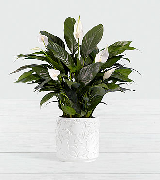 Lush Tropical Peace Lily in Dove Sympathy Planter
