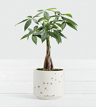 Braided Money Tree in Make a Wish Planter