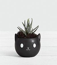 Black Cat Succulent