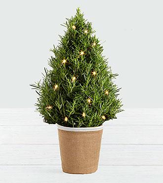 Rosemary Tree with Lights