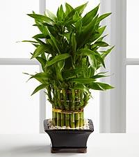 Triple Lucky Bamboo