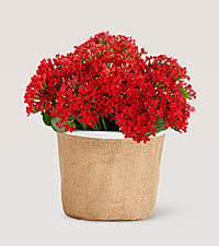 Cheerful 4.5' Red Kalanchoe
