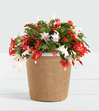 Red and White Cactus in Woven Container