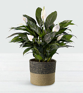 Lush Tropical Peace Lily in Spotted Basket