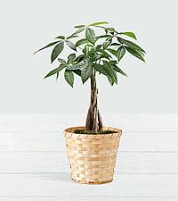 Braided Money Tree in Woven Basket