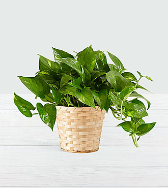 Golden Pothos Tabletop Plant in Woven Basket
