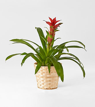Ruby Red Bromeliad in Woven Basket