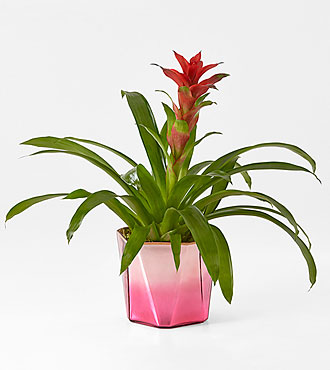 Ruby Red Bromeliad in Pink Container