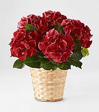 True Romance Hydrangea in Woven Basket